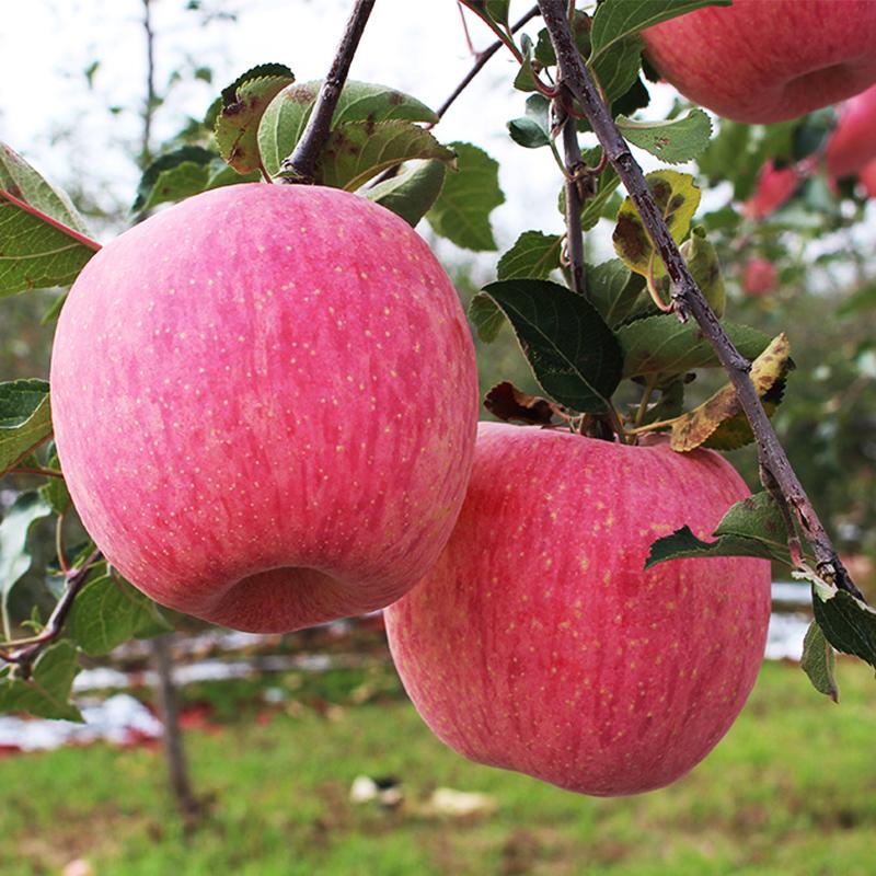 【宝宝果】陕西延安洛川红富士苹果25枚